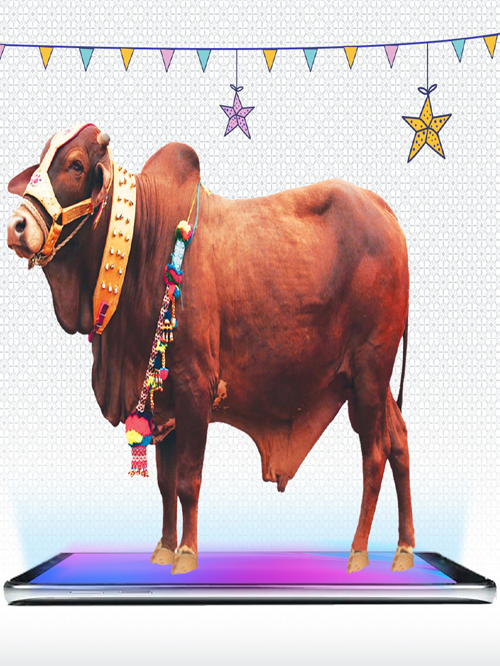 Cover-Qurbani-bull-13
